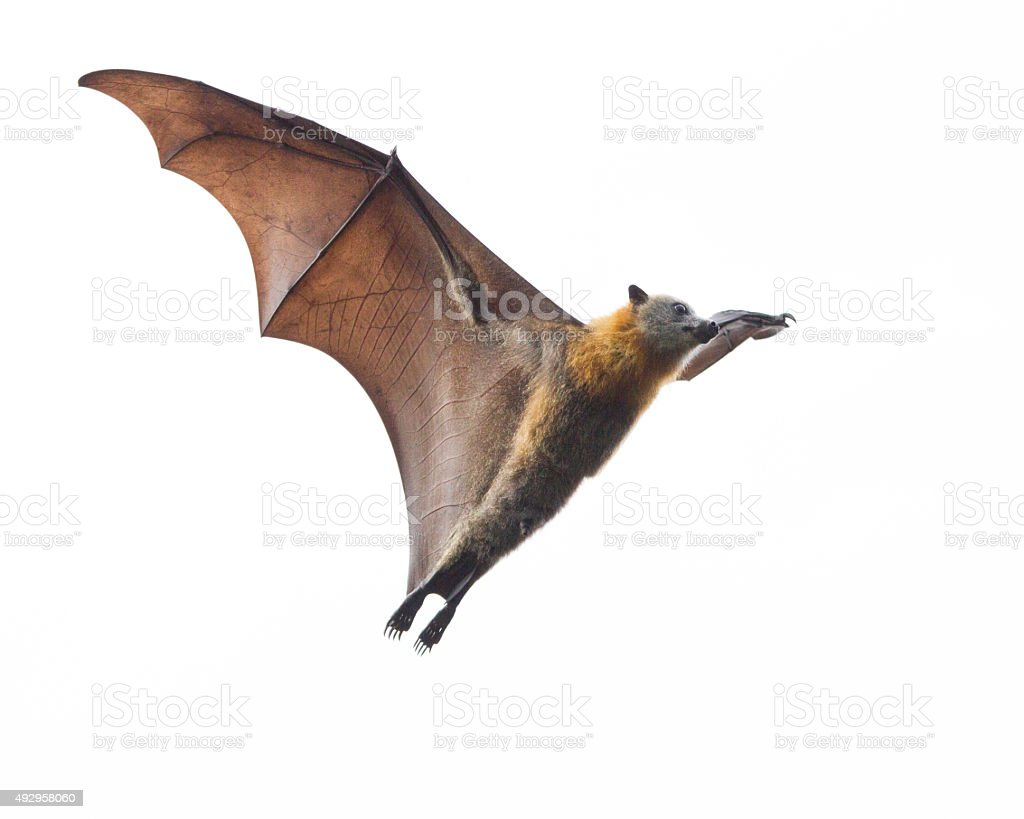Bat Isolated Against White Sky stock photo