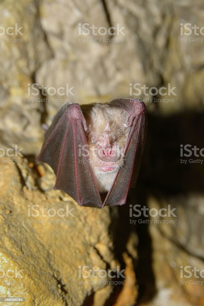 Bat (Rhinolophus hipposideros) - Lesser Horseshoe Bat stock photo