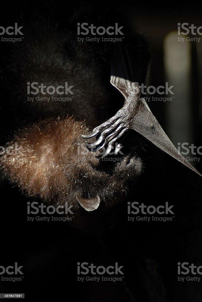 Bat on Black stock photo