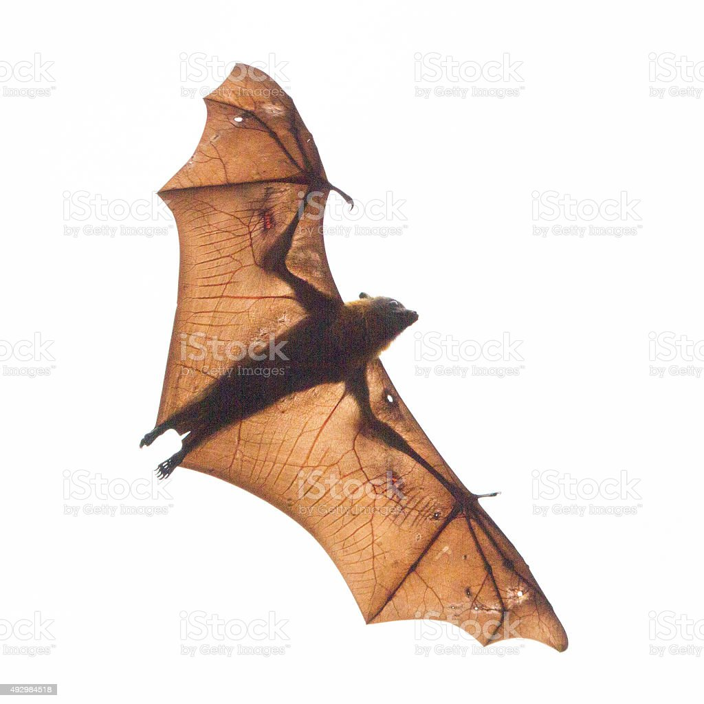 Bat Silhouette with Veins Showing stock photo