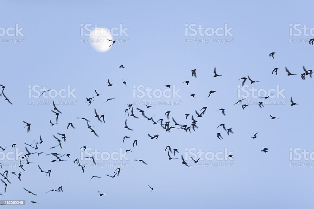 Bat Swarm stock photo