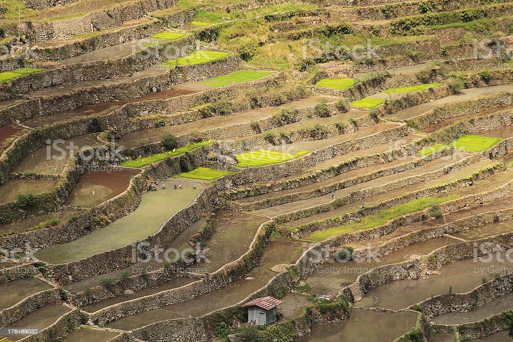 Batad terrazze di riso nel corso di piantare stagione foto stock royalty-free