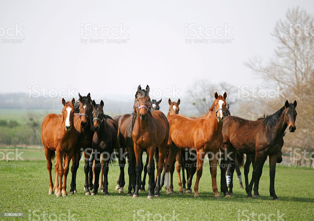 Batch of horses in farmland meadow stock photo