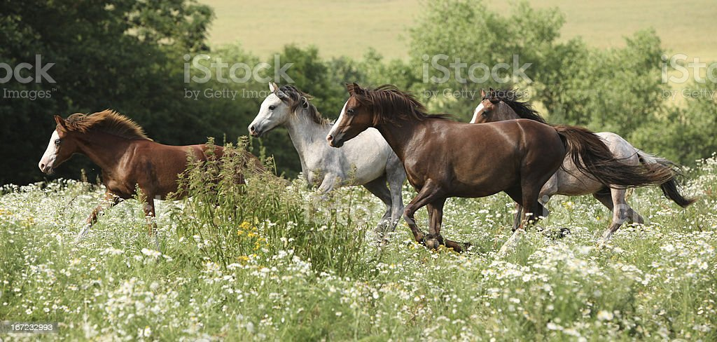 Batch of horses running in flowered scene royalty-free stock photo