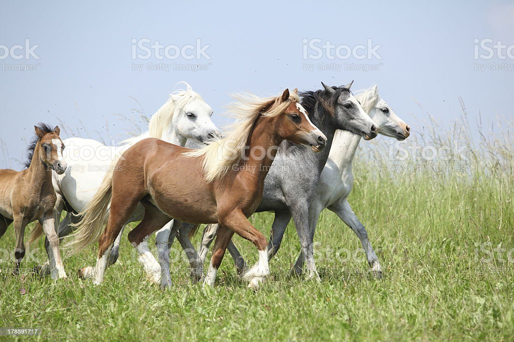 Batch of welsh ponnies running together on pasturage stock photo