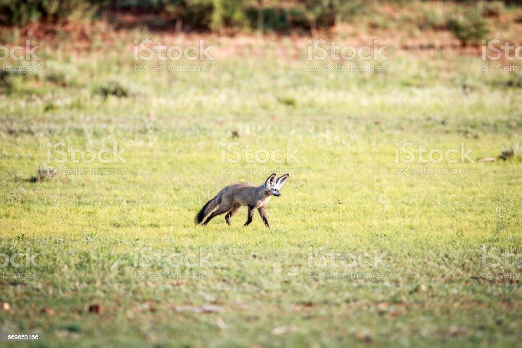 Bat-eared fox walking in the grass. stock photo