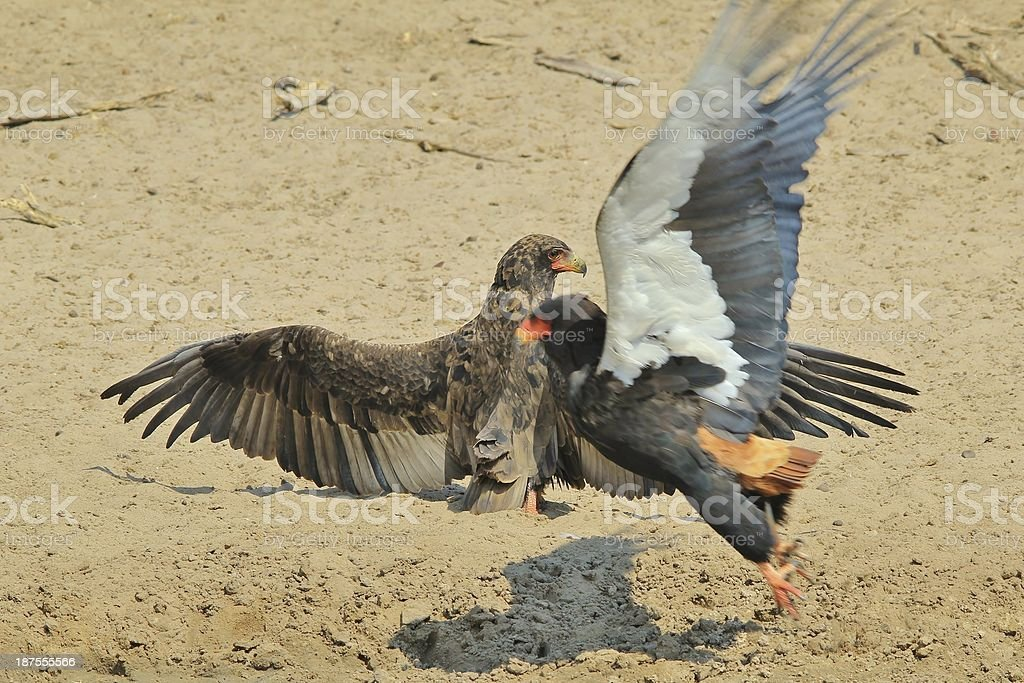 Bateleur Eagle display of wings - Wildlife background from Africa stock photo