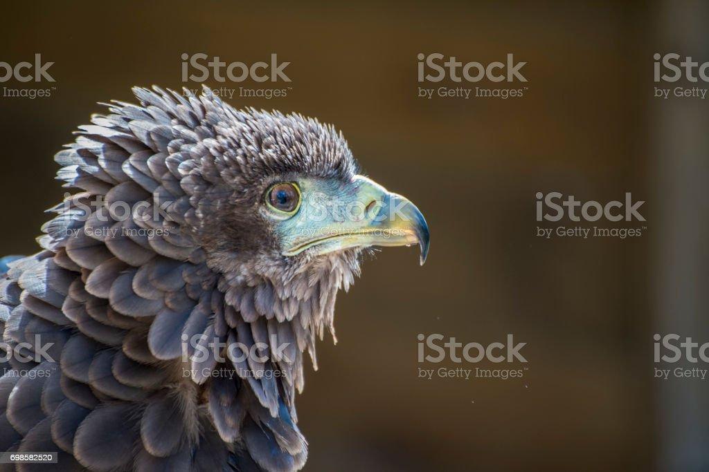 Bateleur Eagle  head side on as it looks for prey stock photo