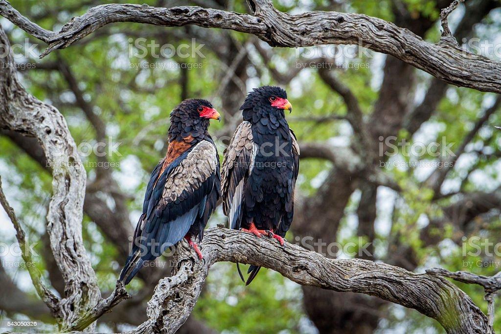 Bateleur Eagle in Kruger National park, South Africa stock photo