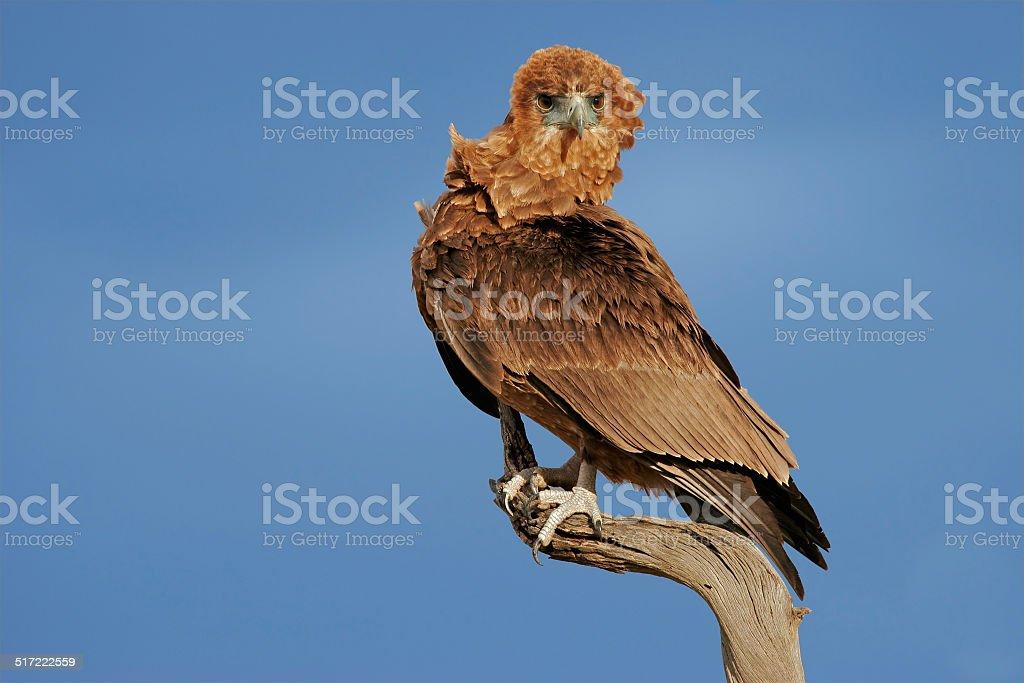 Bateleur eagle stock photo