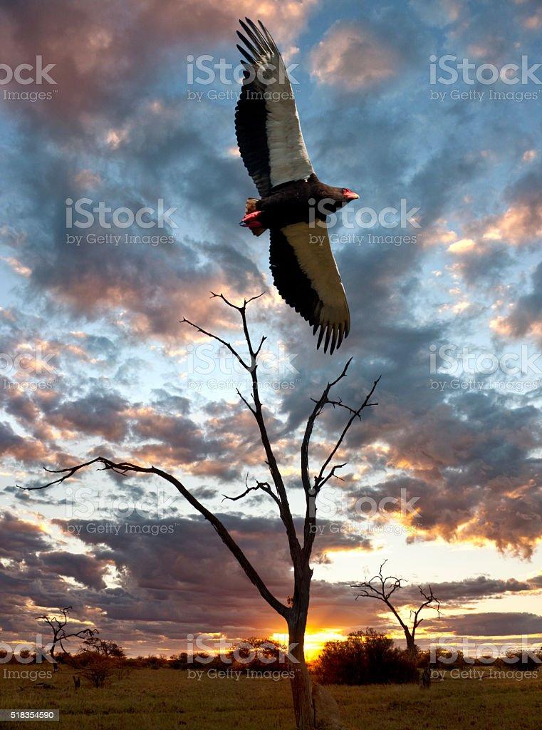 Bateleur Eagle - Savuti - Botswana stock photo