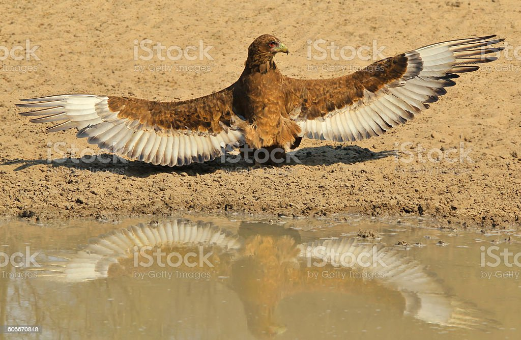 Bateleur Eagle - Wild Bird Beauty Background from Africa stock photo