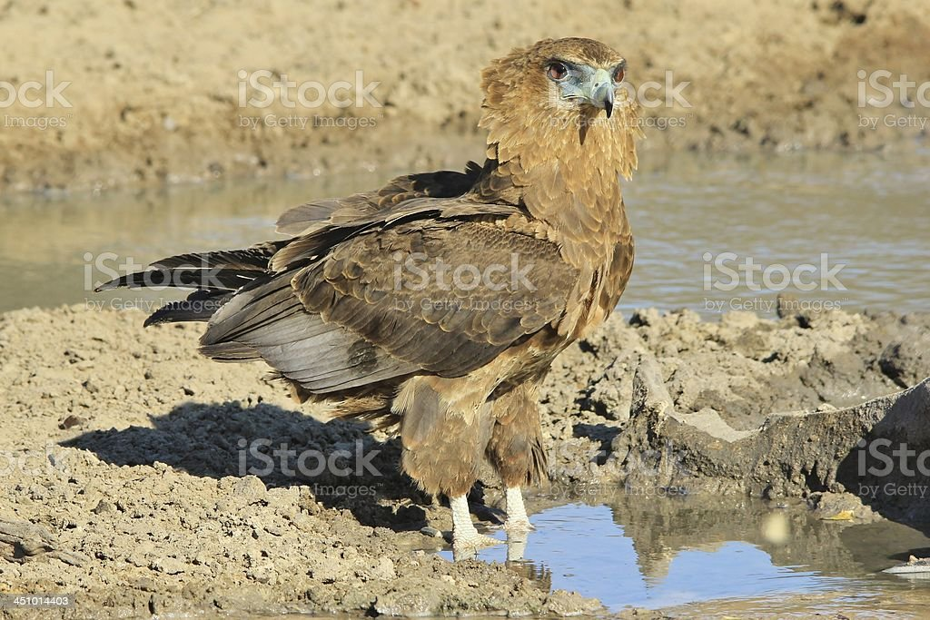 Bateleur Eagle - Wildlife Background from Africa stock photo