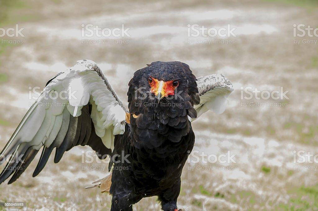 Bateleur eagle,snake eagle, beautiful close, colour image stock photo