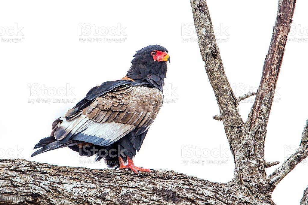 Bateleur in Kruger National park, South Africa stock photo