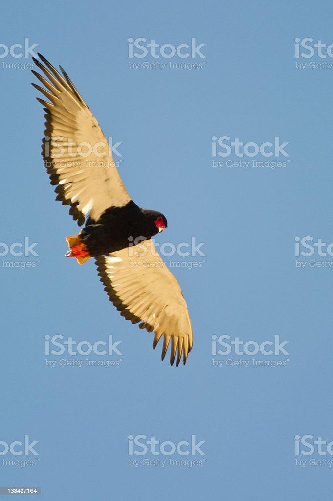 Bateleur (bird of prey) scanning it's habitat. stock photo