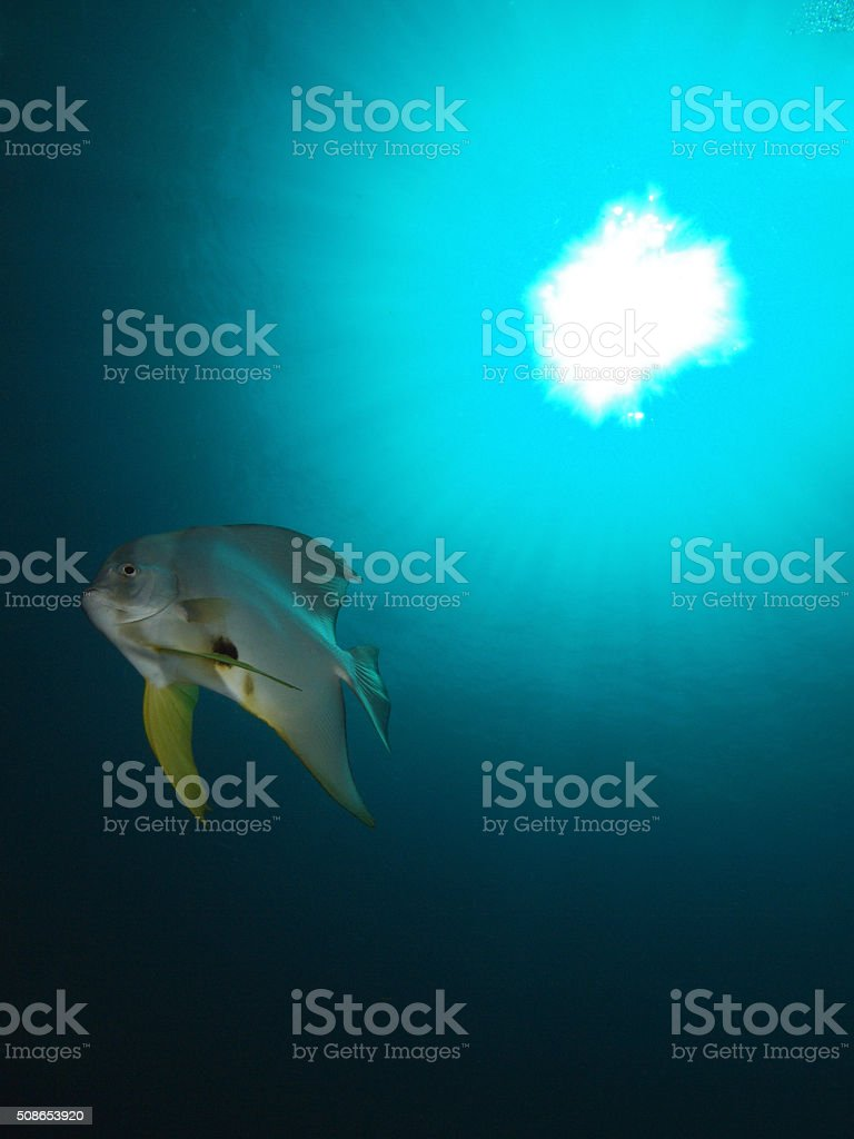 batfish against the sun stock photo