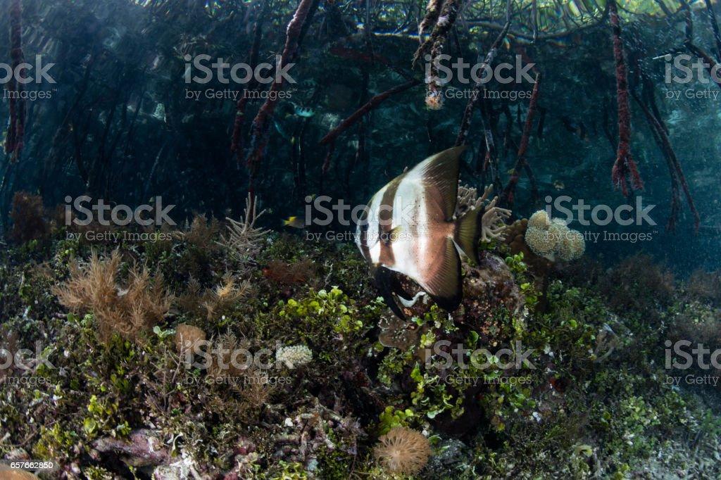 Batfish and Mangrove Forest in Raja Ampat stock photo