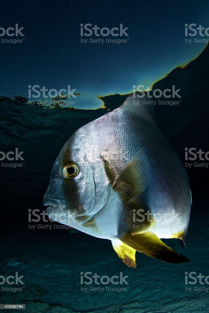 batfish closeup stock photo