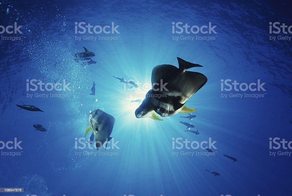 Batfish In Blue stock photo