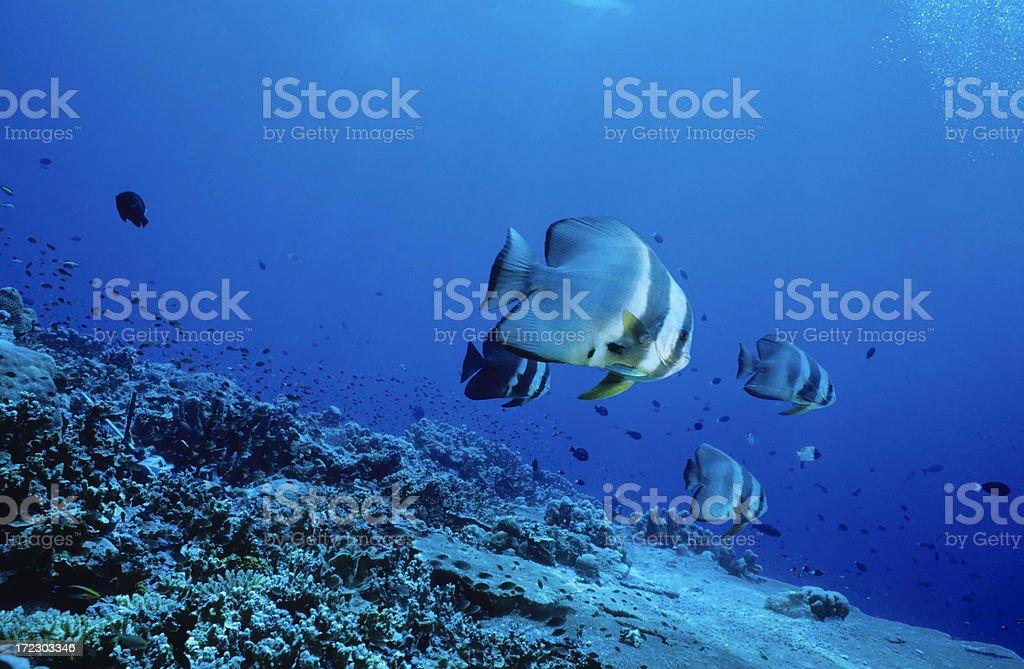 Batfish On Reef Slope stock photo