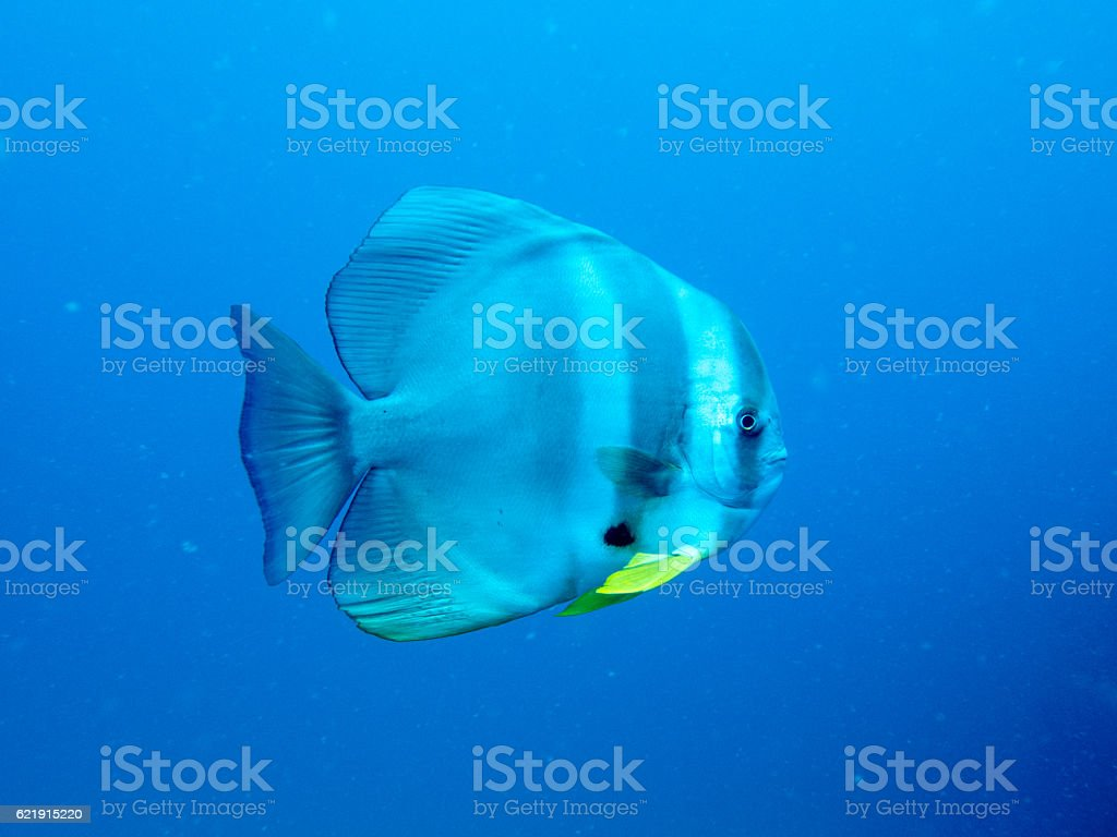 Batfish or Spadefish from Gulf of Thailand stock photo