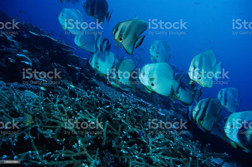 Batfish Parade stock photo