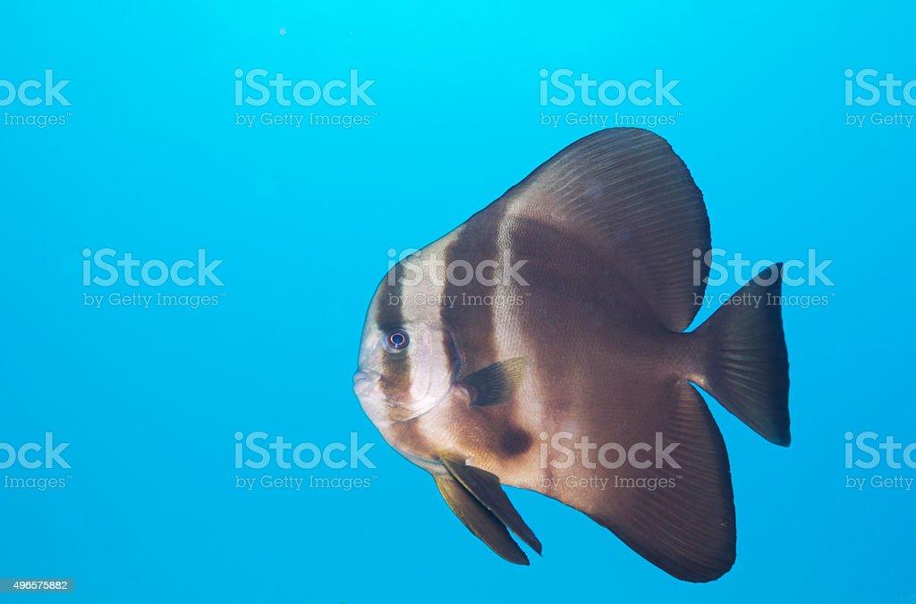 Batfish stock photo