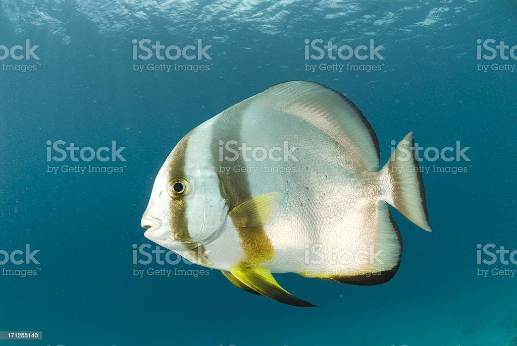 batfish portrait stock photo