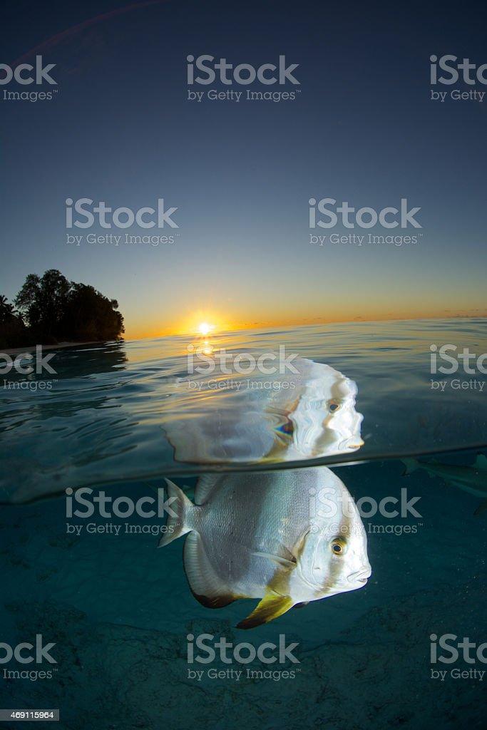 batfish sunset stock photo