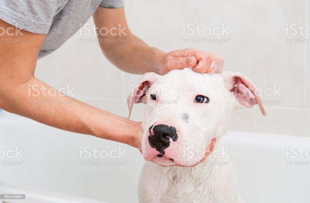 Bath of a dog Dogo Argentino stock photo