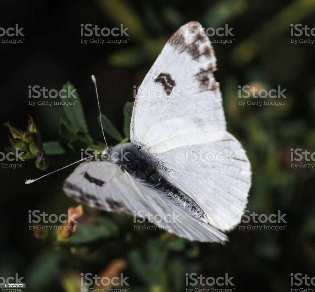 Bath White Butterfly stock photo