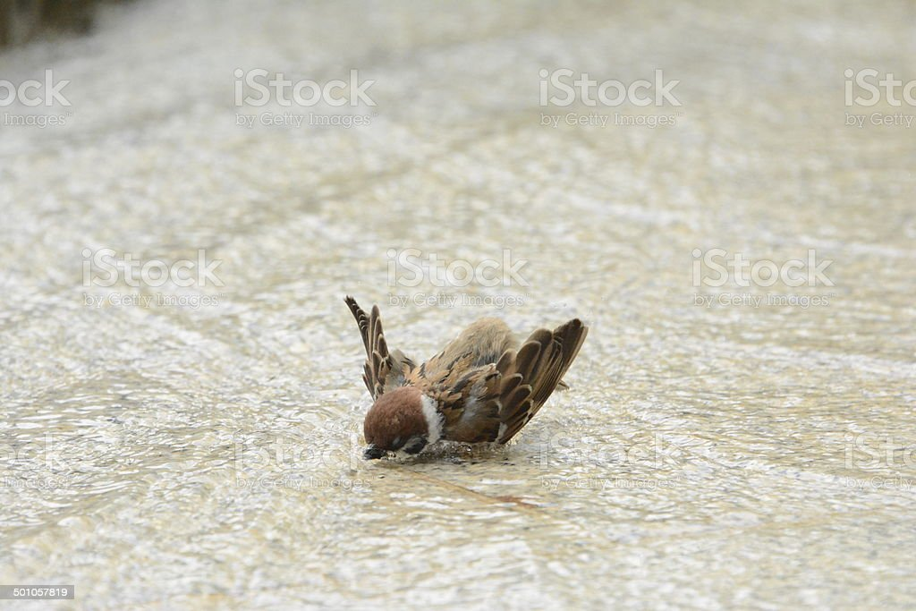 Bathe of the sparrow. royalty-free stock photo
