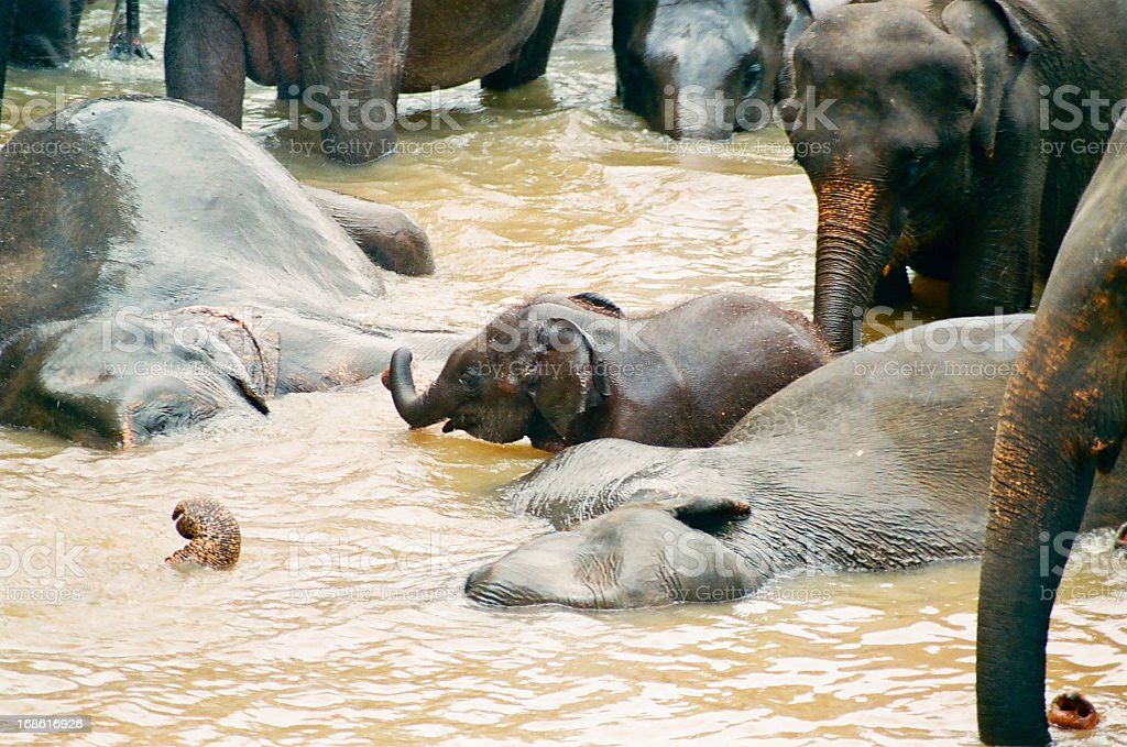 bathing elephants with baby in river royalty-free stock photo