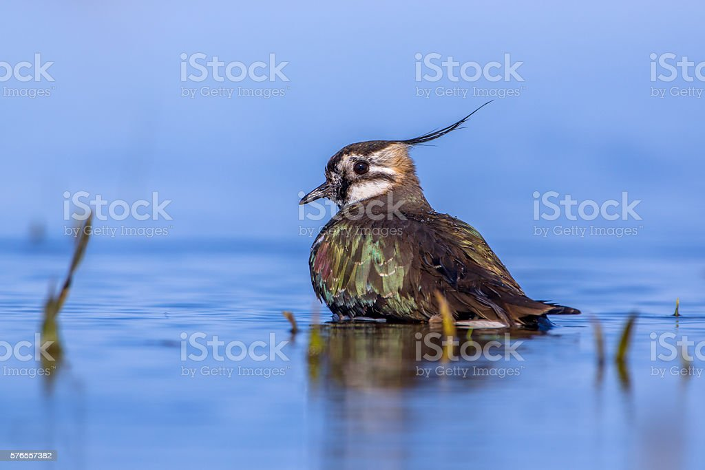 Bathing European lapwing stock photo