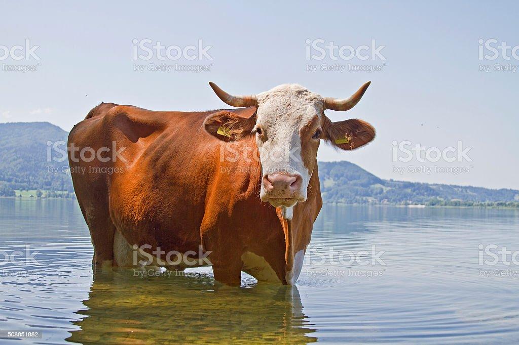 bathing pleasure of a cow stock photo