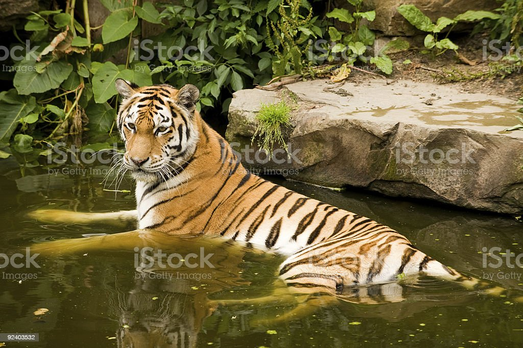 Bathing tiger royalty-free stock photo