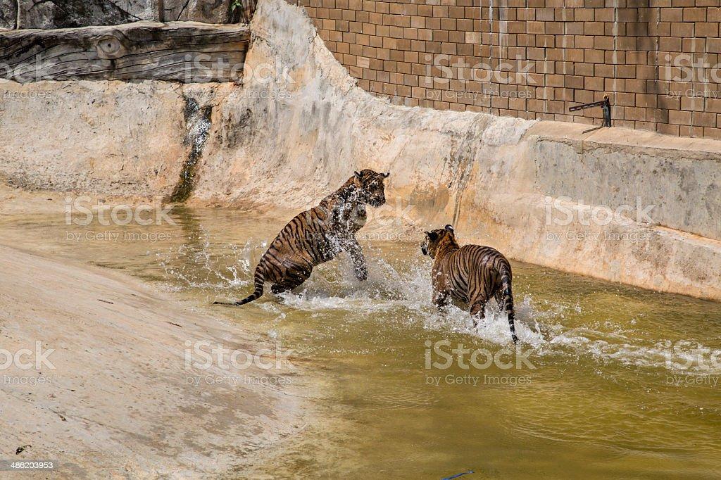 Bathing Tigers at the Tiger Temple in Kanchanaburi stock photo