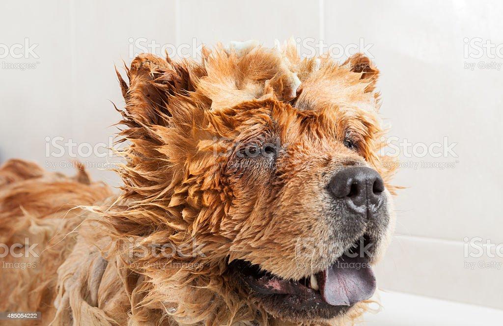 Bathroom to a dog chow chow stock photo