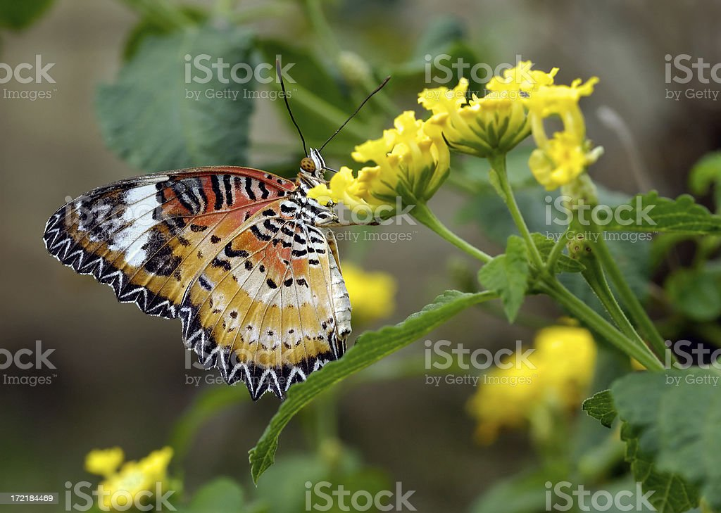 Batik lacewing butterfly royalty-free stock photo