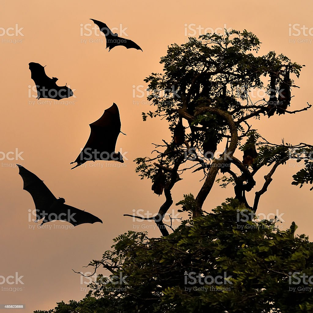 Bats flying at sunset stock photo