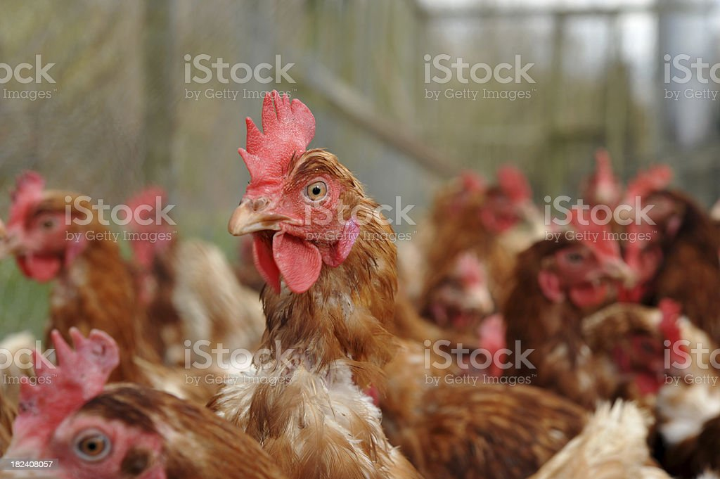 Battery chicken farming royalty-free stock photo