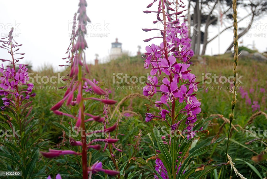 Battery Point Lighthouse and Fireweed (Chamerion angustifolium) stock photo
