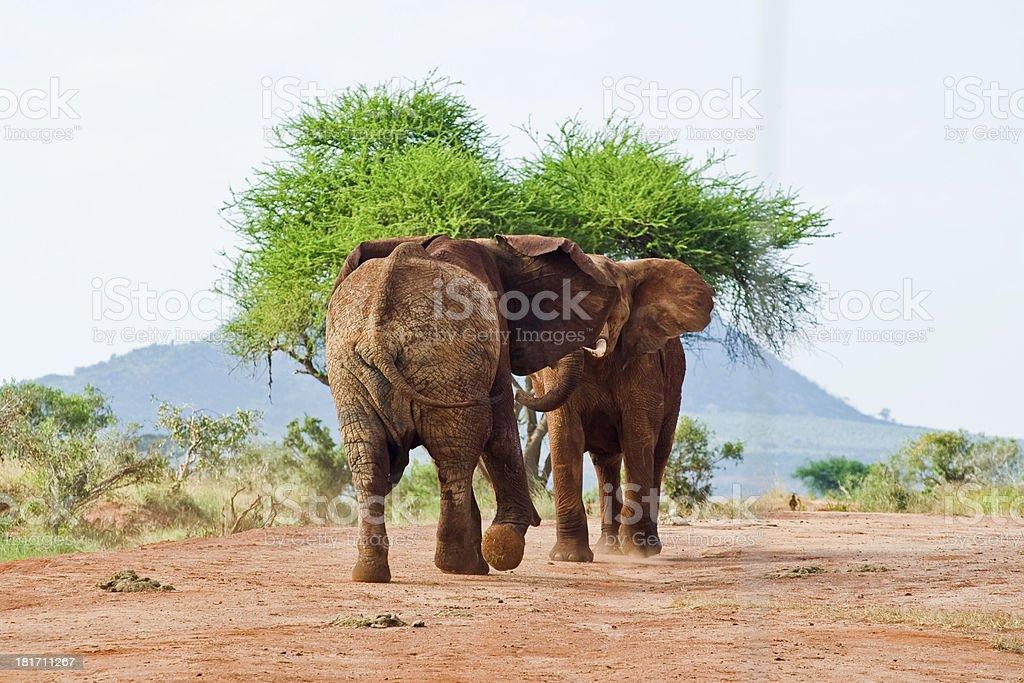 battle of elephants royalty-free stock photo