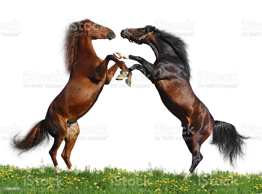 Battle of horses on green field stock photo