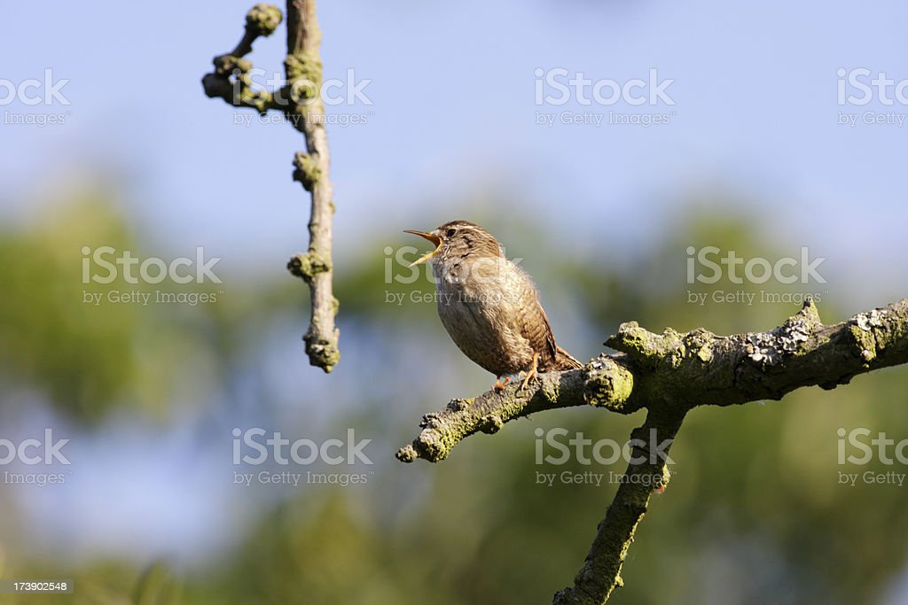 Battle song of spring from a single Jenny Wren stock photo