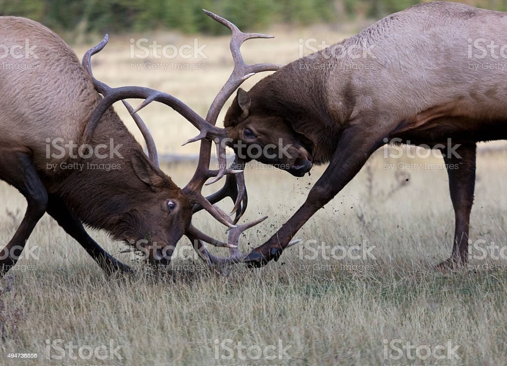 Battling bull elk in rut season stock photo