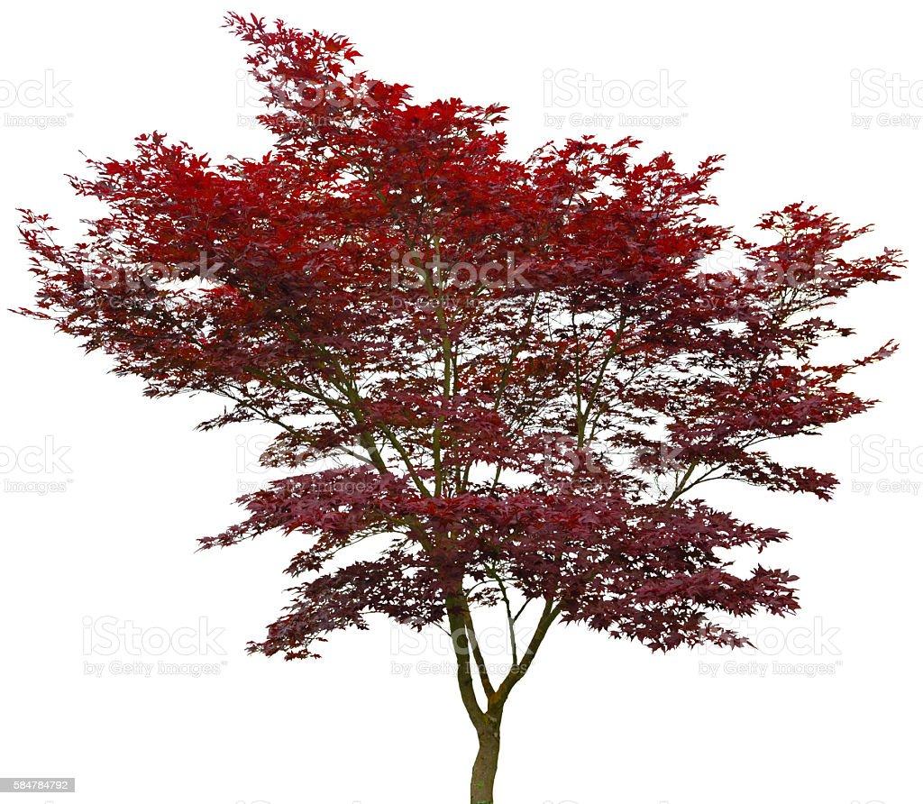 Baum rot auf weiß stock photo