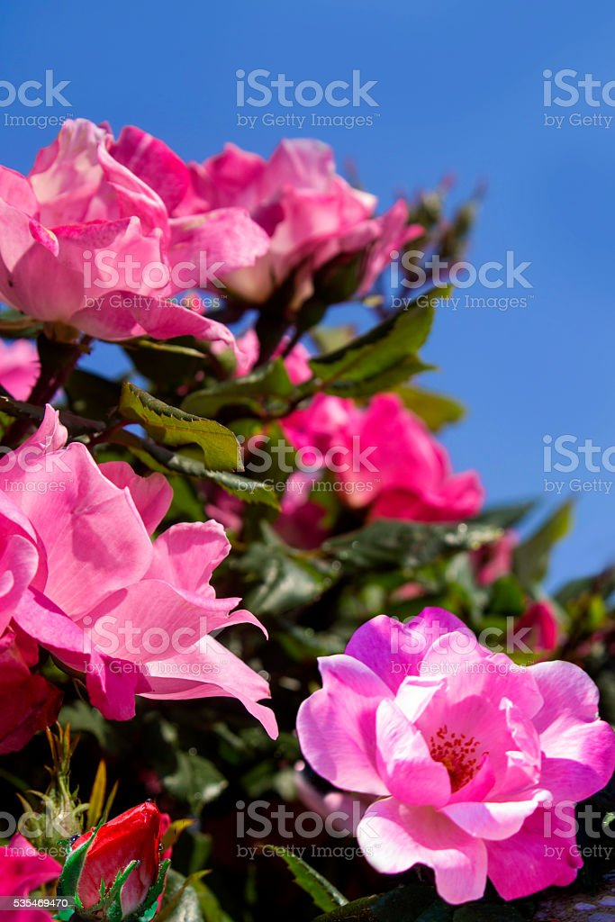 Bautiful pink roses against blue sky stock photo