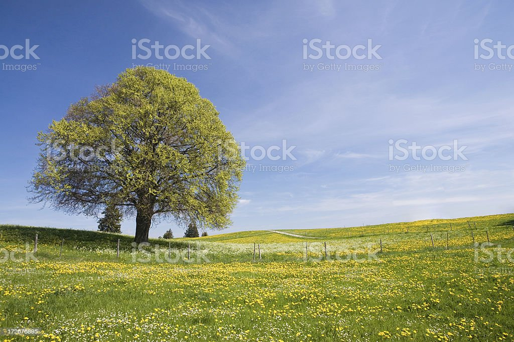 bavarian beach tree left royalty-free stock photo